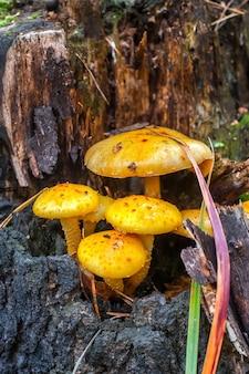 Ein haufen haubentaucher mit gelben hüten auf einer stumpfnahaufnahme. der stumpf ist alt und faul. selektiver fokus auf pilzen. der hintergrund ist verschwommen.