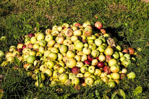 Ein haufen verdorbener alter verrottender äpfel im obstgarten, nachdem eine neue ernte zerstört oder in den müll geworfen wurde, wodurch die produkte zerstört wurden