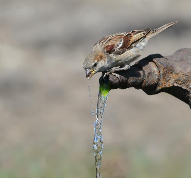 Ein haussperling trinkt leitungswasser. nahaufnahme porträt