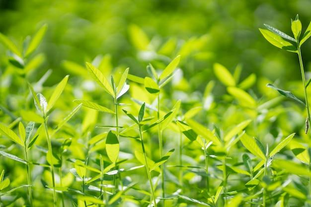Ein hellgrüner baum in der regenzeit ist schön. unschärfe fokus hintergrund