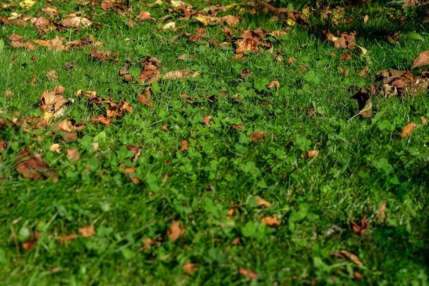 Ein hintergrund eines rasens mit grünem gras und seltenen herbstblättern, die von der sonne beleuchtet werden.