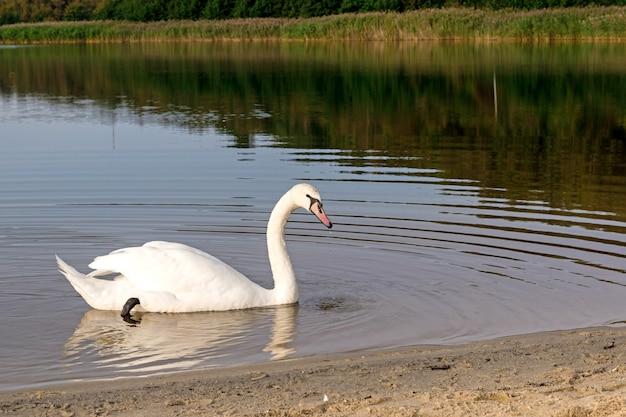 Ein höckerschwan gleitet über einen ruhigen see. seitenansicht