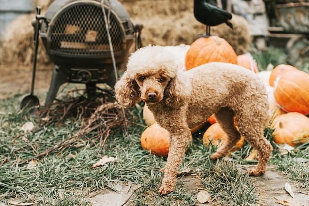Ein hund auf der veranda eines hauses, das dekoriert ist, um eine halloween-party zu feiern