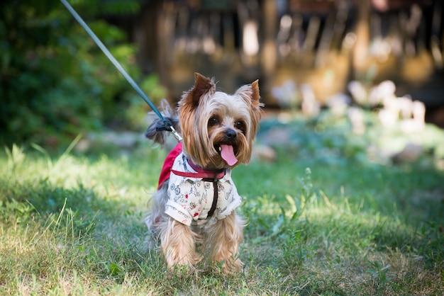 Ein hund in modischer kleidung spazieren.