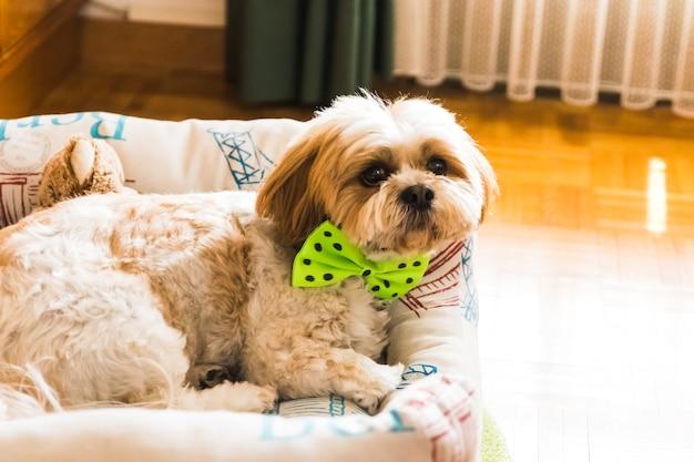 Ein hund mit fliege auf kissen liegend