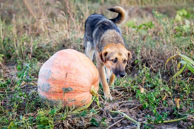 Ein hund nahe einem kürbis auf feldfarm im herbst