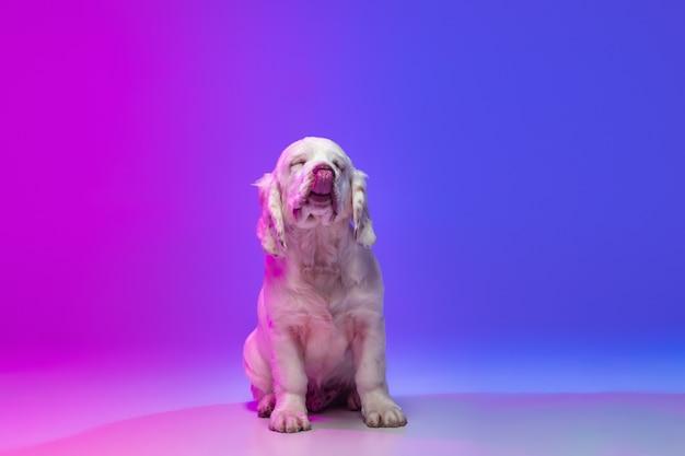 Ein hund weiß clumber isoliert über rosa blauem studiohintergrund mit farbverlauf im neonlichtfilter.