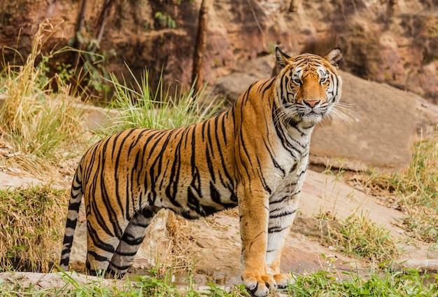 Ein indischer tiger in freier wildbahn. royal, bengalischer tiger