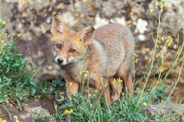 Ein junger fuchs sieht starr aus. vulpes vulpes.