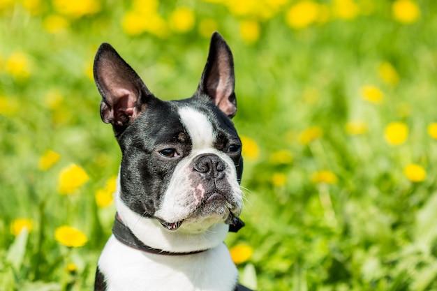 Ein junger hund bostons terrier auf einem hintergrund des grünen grases