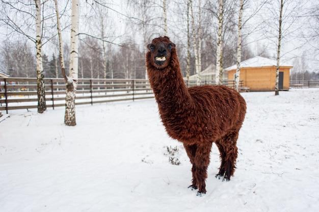 Ein junges braunes lama im fahrerlager. lama im winter. hochwertiges foto