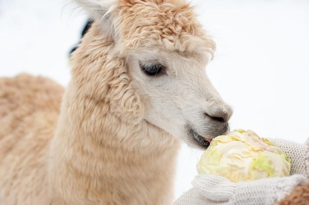 Ein junges lockiges weißes lama isst kohl aus den händen eines mädchens in weißen handschuhen. das lama im winter füttern.