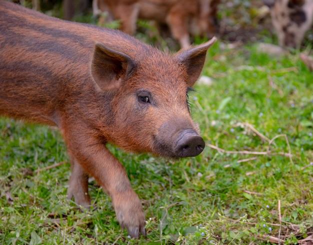 Ein junges schwein auf einem grünen gras. brown funy ferkel weiden.
