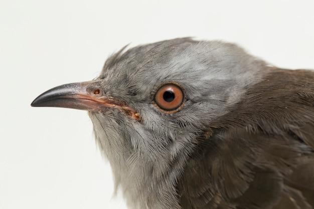 Ein klagender kuckucksvogel cacomantis merulinus isoliert auf weißem hintergrund