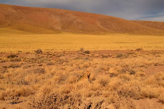 Ein kleiner andenfuchs, der auf dem wüstenbürstengebiet, atacama-wüste von nordchile sich entspannt