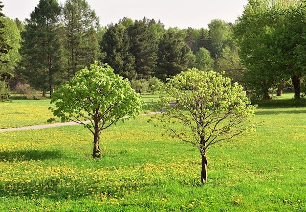 Ein kleiner baum in einem landschaftsgarten frisches frühlingslaubgras mit blühendem löwenzahn