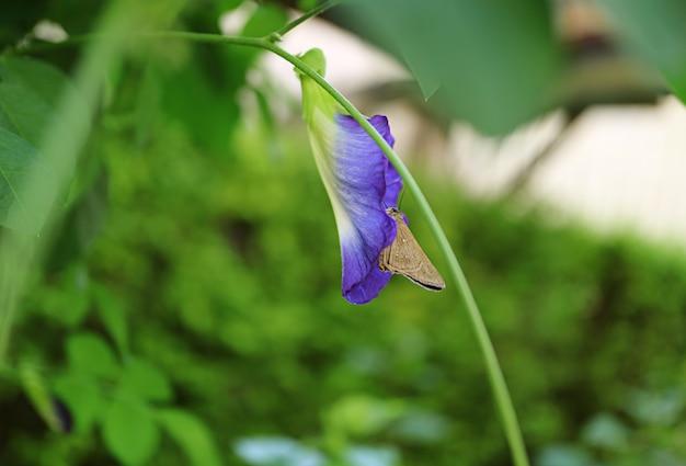 Ein kleiner brauner schmetterlings-korrektur-nektar auf einer blühenden schmetterlings-erbsen-blume