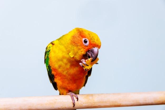 Ein kleiner bunter papagei, der samen essend betrachtet