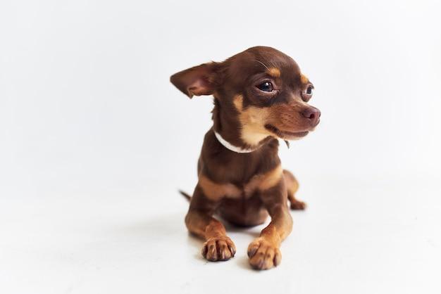 Ein kleiner hund chihuahua posiert isolierten hintergrund