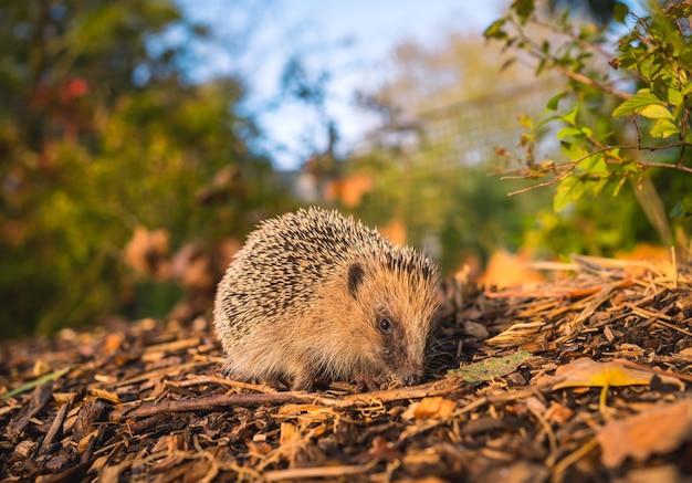Ein kleiner igel, der durch die gefallenen herbstblätter in einem wunderschönen park spazierte, ging auf dem rücken spiked tier