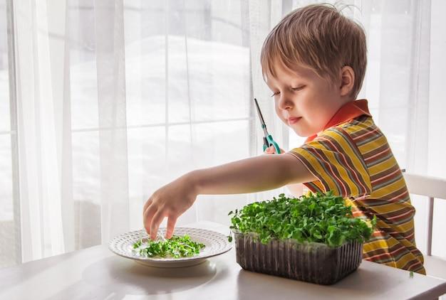 Ein kleiner junge schneidet mikrogrünpflanzen mit einer schere. kleiner gärtner, das konzept der natürlichen vitaminernährung