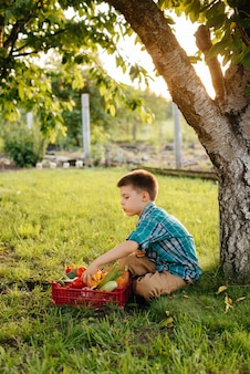 Ein kleiner junge sitzt unter einem baum im garten mit einer ganzen schachtel reifem gemüse bei sonnenuntergang. landwirtschaft, ernte. umweltfreundliches produkt.