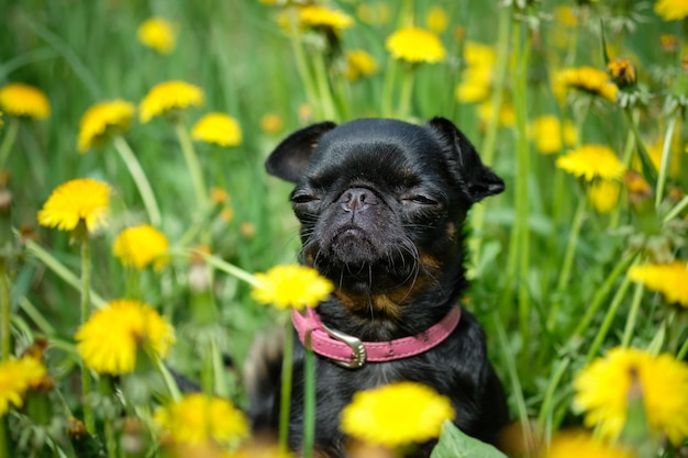 Ein kleiner schwarzer hund sitzt auf dem grünen gras mit gelbem löwenzahn