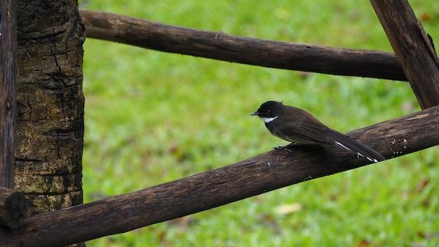 Ein kleiner schwarzer vogel liegt auf einer niederlassung. kann bearbeitet oder zu ihrer arbeit hinzugefügt werden.