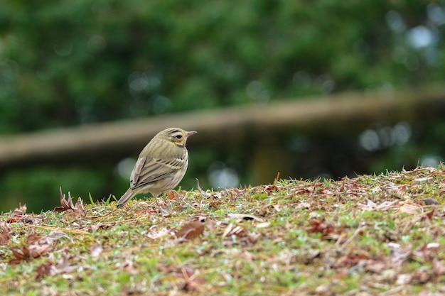 Ein kleiner vogel, der nach nahrung am natürlichen grünen park sucht.