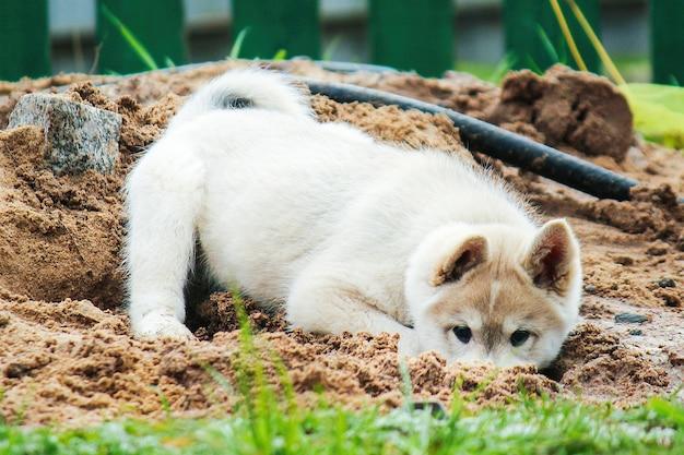 Ein kleiner welpe des westsibirischen huskys gräbt ein loch in den sand süßes haustier, das auf der straße spielt playing