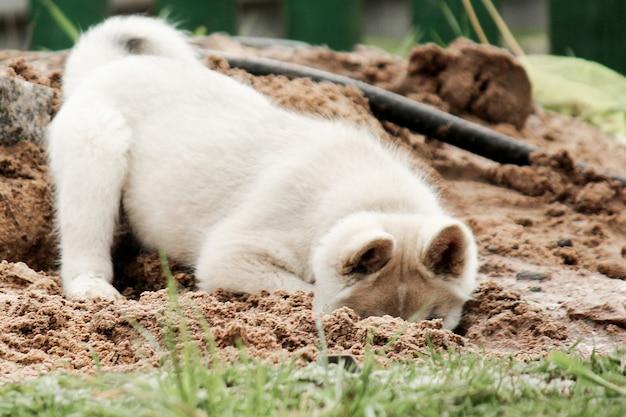Ein kleiner welpe des westsibirischen huskys gräbt ein loch in den sand und versteckt seinen kopf dort niedliches haustier, das auf der straße spielt