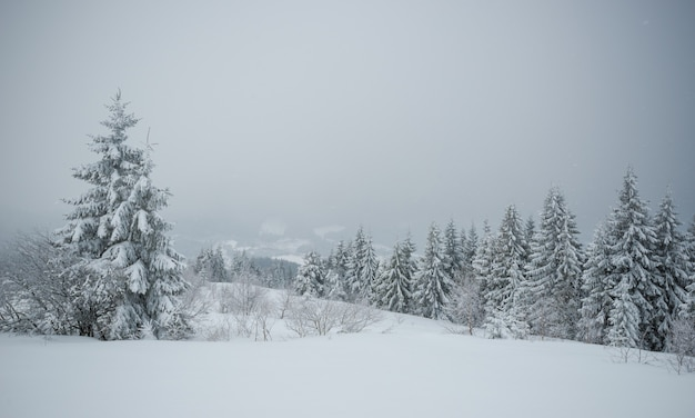 Ein kleiner zerbrechlicher baum, der einsam mit raureif bedeckt ist, wächst aus einer schneeverwehung vor dem hintergrund riesiger, jahrhundertealter, verschwommener, schneebedeckter tannen