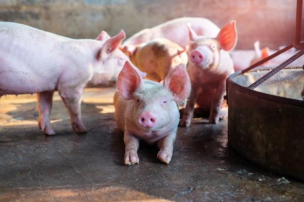 Ein kleines ferkel auf dem bauernhof. gruppe von säugetieren warten futter. schweine im stall. beliebte tiere, die weltweit für den fleischkonsum und den geschäftshandel aufgezogen werden. (sus scrofa domesticus)
