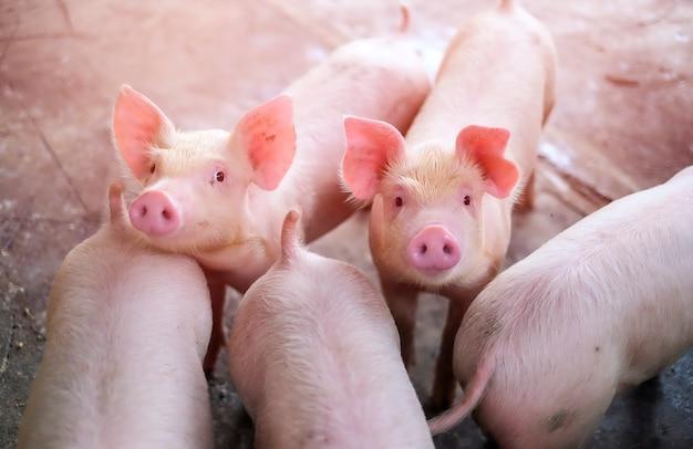 Ein kleines ferkel in der farm. gruppe von säugetier warten futter