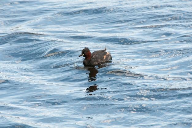 Ein kleines grebe oder dabchick schwimmen