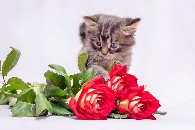 Ein kleines kätzchen, das mit interesse nach einem strauß roter rosen ausschau hält. blumen für grüße mit dem urlaub