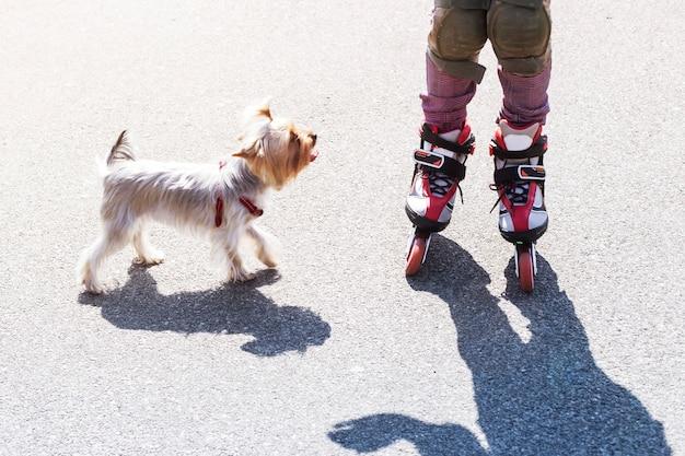 Ein kleines mädchen reitet auf roten rollen neben einem kleinen hund der rasse yorkshire terrier