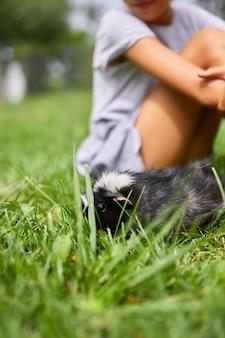 Ein kleines mädchen spielt mit schwarzem meerschweinchen, das im sommer im freien sitzt, pet calico meerschweinchen weidet im gras des hinterhofs seines besitzers