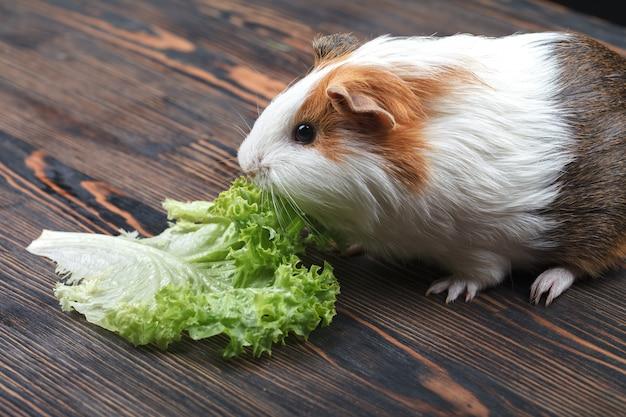 Ein kleines meerschweinchen, das ein kopfsalatblatt isst