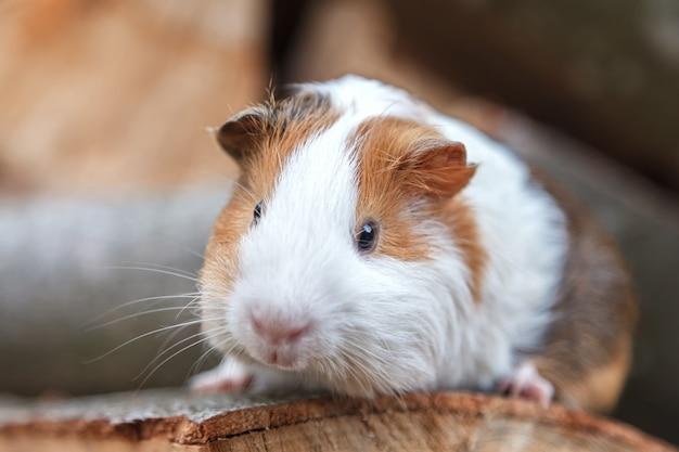 Ein kleines meerschweinchen sitzt auf einem baumstumpf