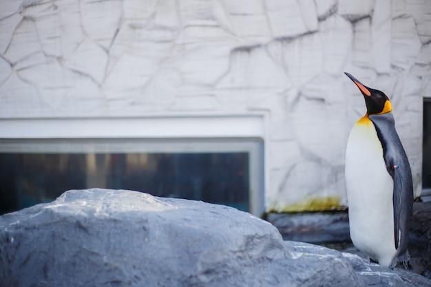 Ein königpinguin im asahiyama-zoo, asahikawa, hokkaido, japan.