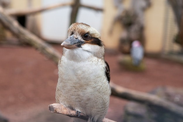 Ein lachender kookaburra, dacelo novaeguineae, thront auf einem ast