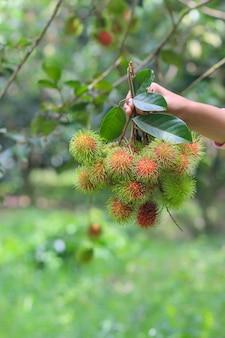 Ein landwirt, der frische rambutanfrucht im garten hält