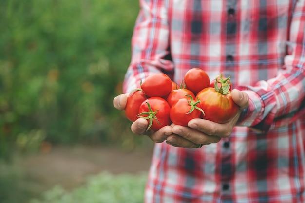 Ein landwirt hält eine ernte tomaten in den händen. selektiver fokus. natur.