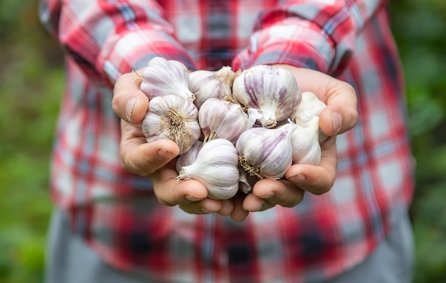 Ein landwirt hält eine knoblauchernte in den händen. selektiver fokus. natur.