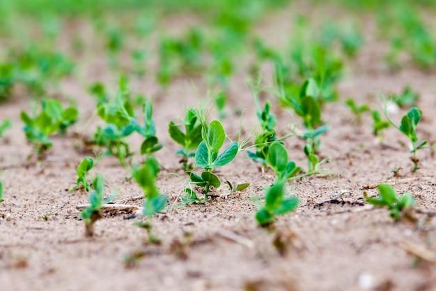 Ein landwirtschaftliches feld, auf dem ausgewählte sorten von erbsen oder bohnen angebaut werden