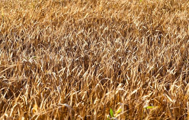 Ein landwirtschaftliches feld, auf dem eine große getreideernte wächst