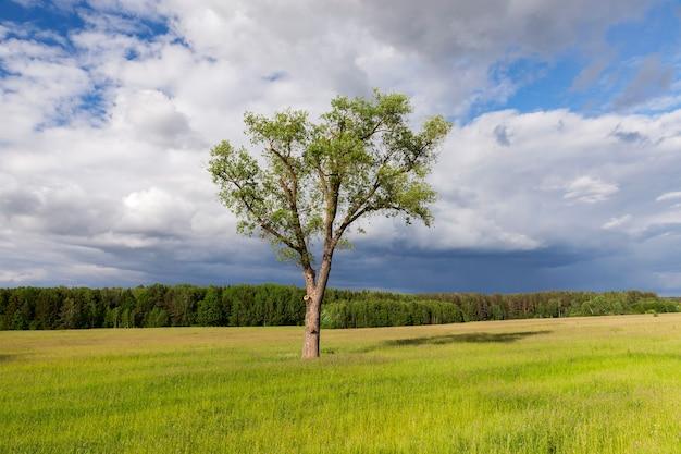Ein landwirtschaftliches feld, auf dem einsamer baum wächst. sommersaison, bewölktes wetter. das wurde nahaufnahme gemacht, fokus auf baum. im hintergrund der himmel mit wolken und wald