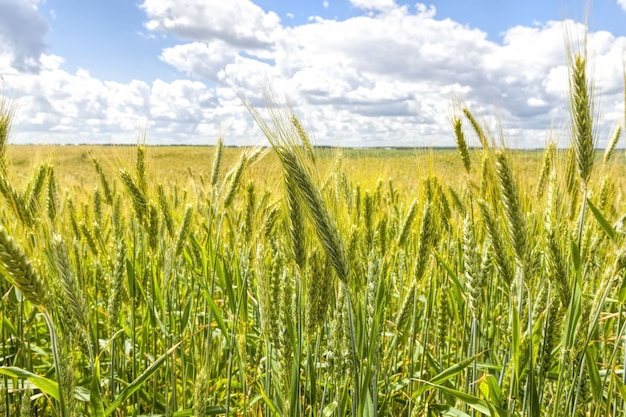 Ein landwirtschaftliches feld, auf dem getreide angebaut wird