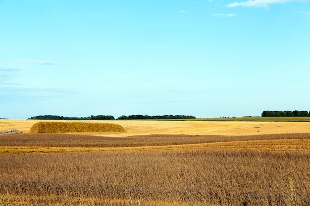 Ein landwirtschaftliches feld, auf dem getreide und weizen geerntet wurden. auf dem feld blieb unbenutztes stroh. im hintergrund ein blauer himmel. landschaften